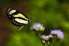 En satt band Tigerwing fjärilsAeria eurimedia stiger av på en purpurfärgad blomma arkivfoto