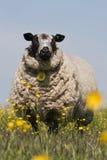 En schapen die bevinden zich letten op stock afbeeldingen