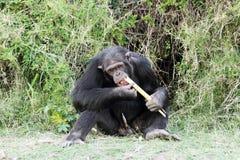 En schimpans som äter sockerröret på Ol Pejeta naturvård Arkivbild