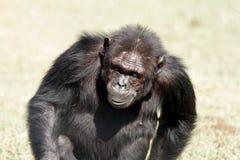 En schimpans som går på Ol Pejeta naturvård Royaltyfri Fotografi