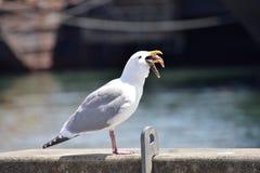 En seagull är i processen av att svälja en sjöstjärnahelhet royaltyfri foto