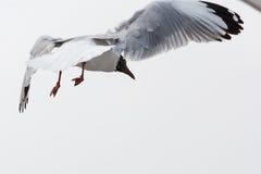 En Seagull Fotografering för Bildbyråer