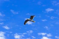 En Seagull Royaltyfri Bild