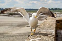 En seagull fördelar dess vingar på väggen royaltyfria foton