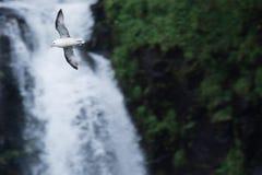 En seagull flyger över den Gasadalur vattenfallet i den Vagar ön arkivbilder