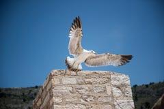 En Seagull flyger i den bl?a himlen arkivfoton