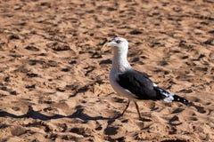 En seagull går i stranden royaltyfri fotografi
