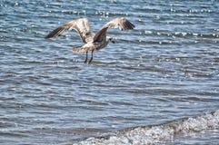 En Seagull i flykten Arkivbilder