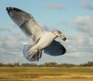 En seagull i flykten med mat i dess mun arkivbilder