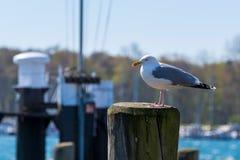 En seagull i hamnen på en insats arkivfoton