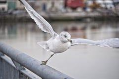 En Seagull i near flyg Royaltyfria Bilder