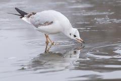 En seagull på isen på den Southampton allmänningen royaltyfria foton