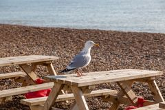 En Seagull på kusten arkivfoto