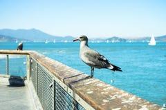 En seagull på pir 39 Royaltyfri Foto
