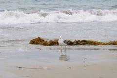 En Seagull på stranden på Stilla havet Royaltyfri Bild