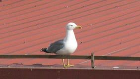 En Seagull på taket Arkivbilder
