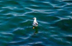 En seagull på vattnet fotografering för bildbyråer