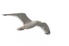 En seagull som soaring i skyen Royaltyfri Bild