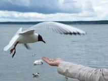 En seagull som tar mat från handen royaltyfria foton