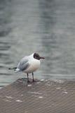 En seagull står Royaltyfri Foto