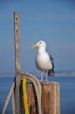 En seagull vilar på en pol på slutet av en pir. Fotografering för Bildbyråer