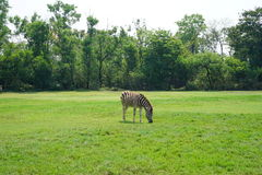 En sebra på Safari World arkivbild