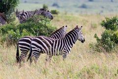 En sebrafamilj betar i savannet i n?ra n?rhet till andra djur arkivfoton
