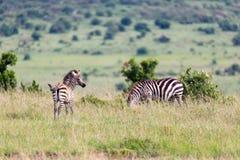 En sebrafamilj betar i savannet i n?ra n?rhet till andra djur arkivbild