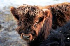 En Shaggy Brown Highlander Calf