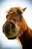 En Shetland ponny Arkivbild