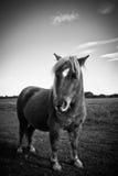 En Shetland ponny i svartvitt Arkivbilder