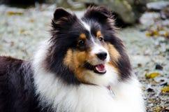 En shetland sheepdog i vildmarken Arkivbilder