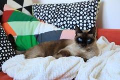 En siamese katt på en soffa och många färgrika kuddar royaltyfri foto