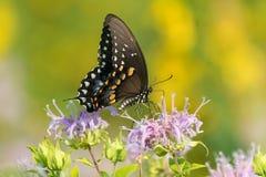 En sidosikt av den Swallowtail fj?rilen som s?tta sig p? rosa vildblommor arkivfoton