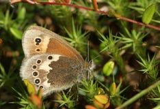 En sidosikt av en stora Heath Butterfly, den Coenonympha tulliaen som sätta sig på mossa med dess vingar, stängde sig royaltyfri foto