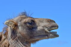 En sidosikt av ett huvud för Bactrian kamel mot en blå himmel Arkivfoto