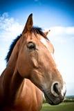 En sidostående av en häst med blåa himlar och moln Arkivbilder