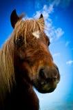 En sidostående av en Shetland ponny med blåa himlar och moln Royaltyfria Bilder