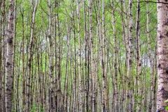 En sikt av ändlösa poppelträd i vår royaltyfri foto