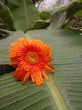 En sikt av Dary Flower Arkivfoto