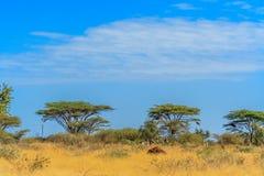 En sikt av den afrikanska savannahen Arkivbild