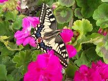 En sikt av den asiatiska tigerfjärilen på mjuka rosa färger blommar royaltyfria foton