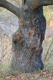 En sikt av ekstammen i en höstskog arkivfoto