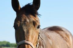 En sikt av ett hästhuvud med en gräsmatta i bakgrunden under blått royaltyfri fotografi