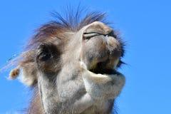 En sikt av ett huvud för Bactrian kamel mot en blå himmel Arkivbilder
