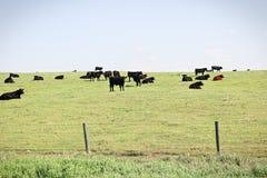 En sikt av kor som betar på, betar kullen royaltyfri fotografi
