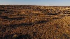 En sikt av män som går till och med savannahen i Namibia stock video
