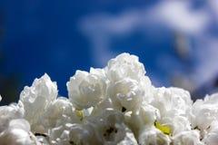 En sikt av parkerar vita blommor i en solig vårdag i skrov som öst parkerar royaltyfria foton