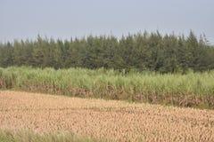 En sikt av risfältlantbrukfältet, når att ha klippt som är peddy på sparat Royaltyfri Fotografi