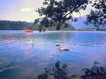 En sikt på svanarna på den blödde sjön Royaltyfri Bild